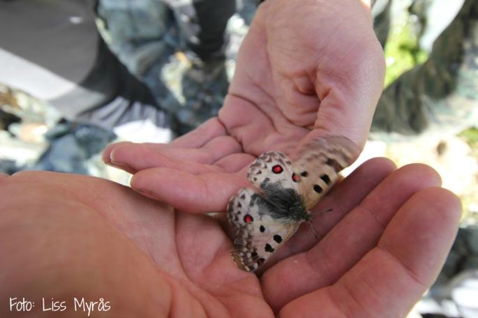 apollo fjäril butterfly Kirgizistan