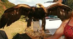 Golden eagle Kyrgyzstan