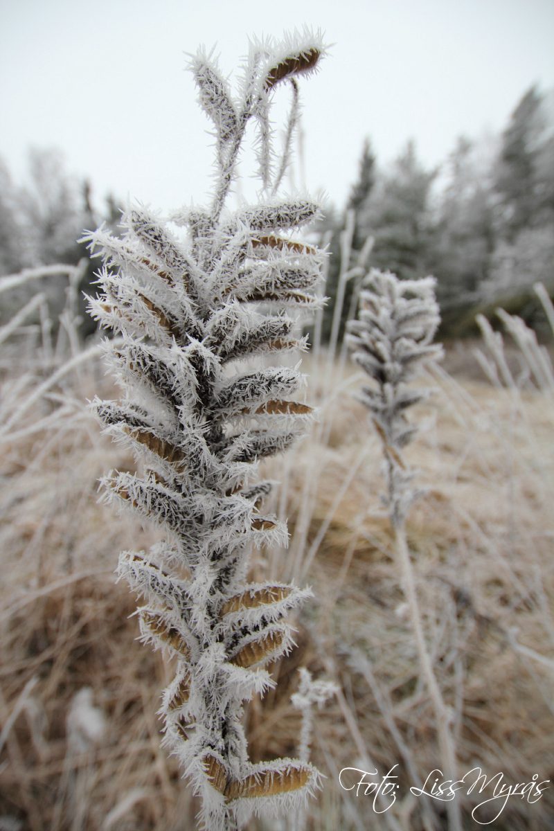 photo liss myrås winter frost plant
