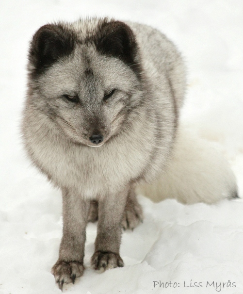 arctic fox fjallräv photo liss myrås