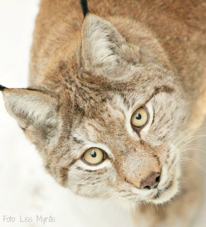 foto liss myrås gaupe lodjur lynx wild animal rovdjur