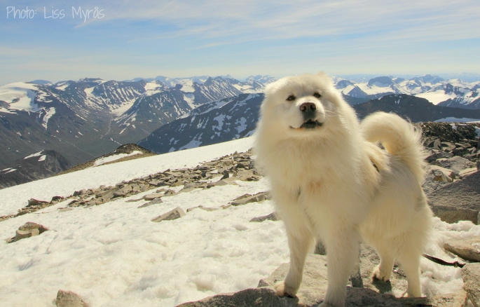 Galdhopiggen jotunheimen Norway mountain lom samoyed mountaineering photo liss myaas