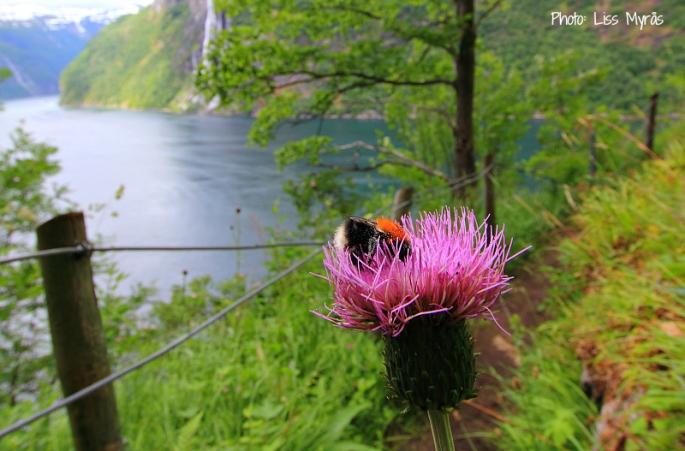 geiranger skageflaa geiranger busy little bee photo liss myraas