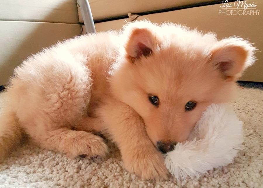 Finnish Lapphund puppy