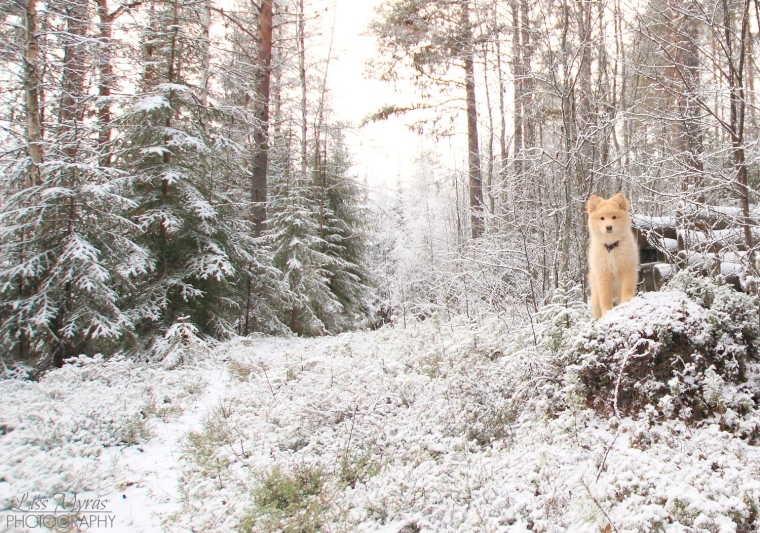 lappmarksvägen bredbyn trail hiking vandring lapphund dog winter landscape photo liss myras