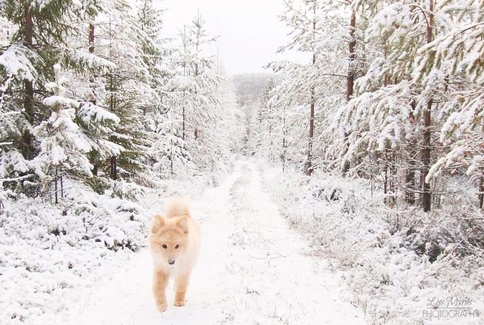 lappmarksvägen lapphund winter forest trail hiking örnsköldsvik anundsjö