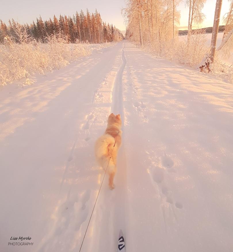 dog lapphund cross country skiing skitur
