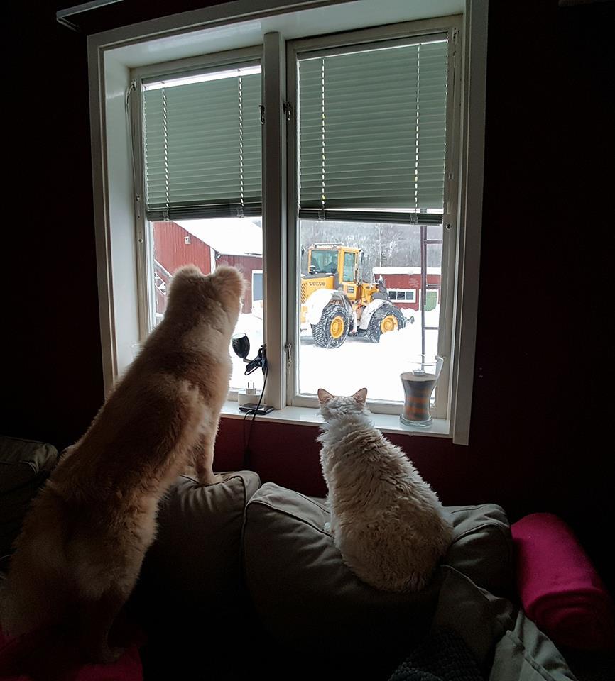 finsk lapphund devon rex cat dog snow window