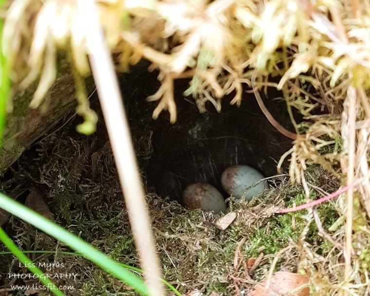 fugleegg i Loen birds nest eggs Nordfjord