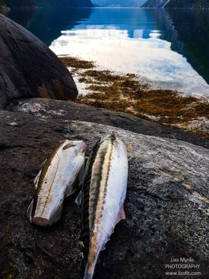makrell fiske mackarel fishing norway
