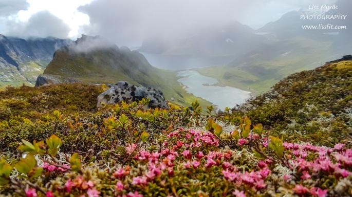 Alpine Azalea trailing azalea greplyng fjellblomst