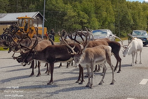 Reindeer in Sweden, not interested in moving