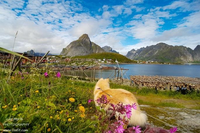 Olstinden Reine Lofoten travel landscape lapphund