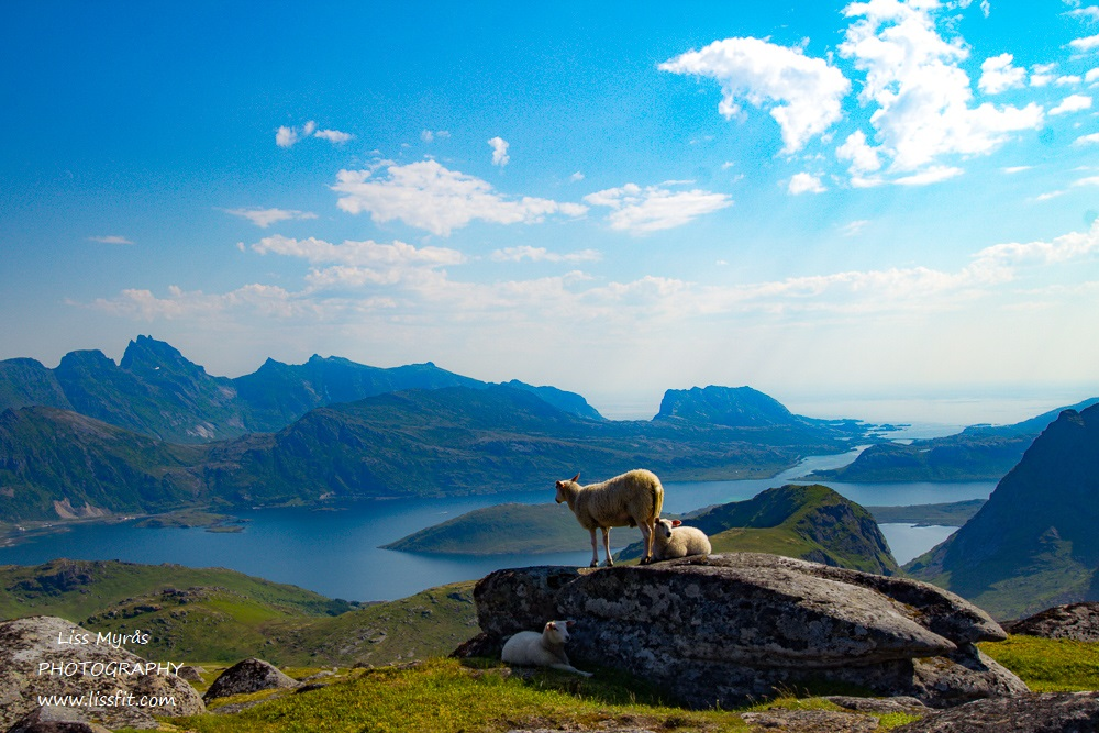 fredvang ramberg ryten hike fjords sheep view trail lofoten