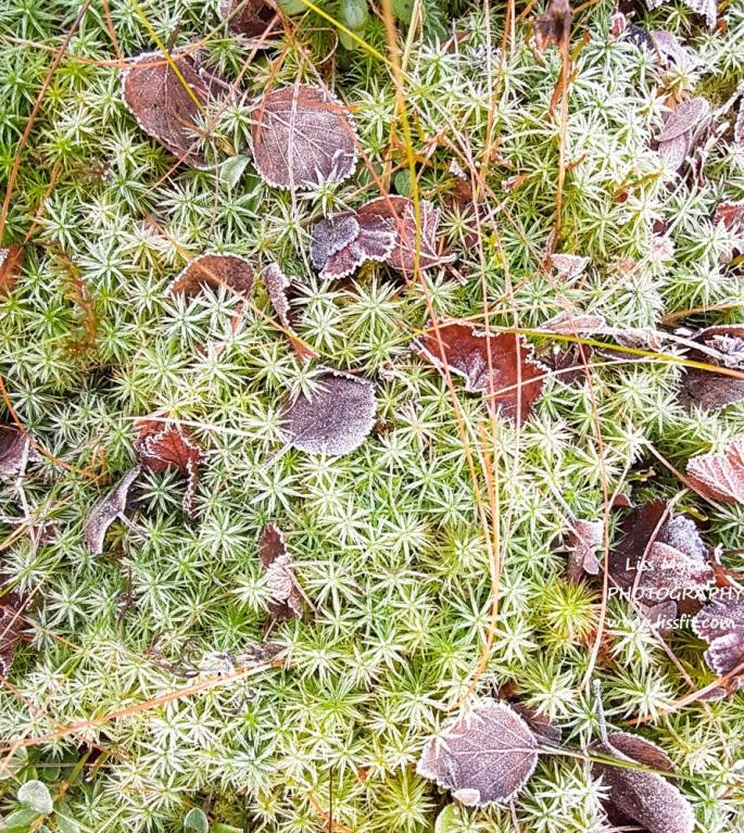star moss stjernemose stjärnmossa natur biologi planter plants