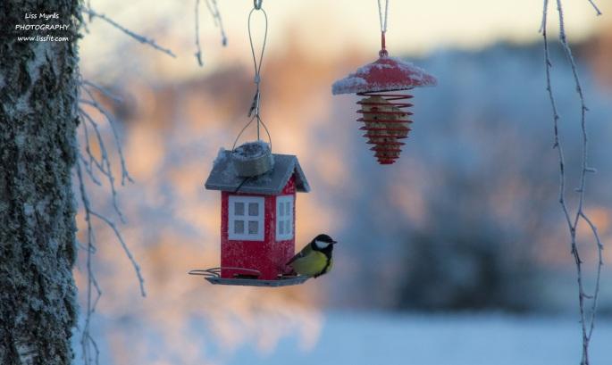 solar cell panel bird feeder solceller talgoxe tit kjottmeis feeding frost winter birds night illumintation kjøttmeis fågelmatare fuglemater