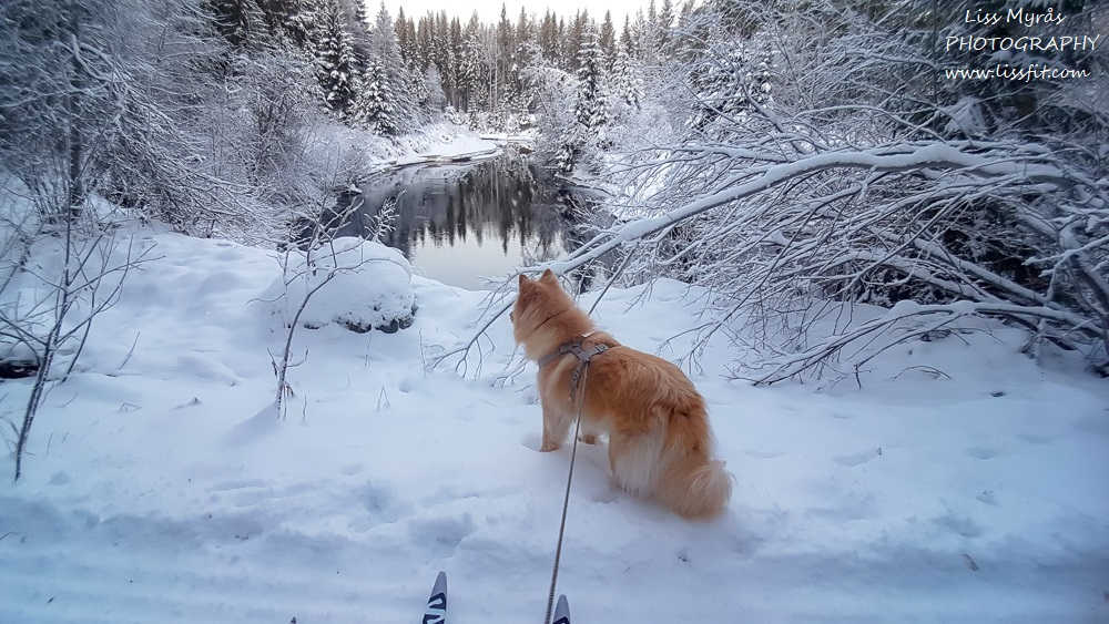 ski track crossu country river winter wonderland lapphund