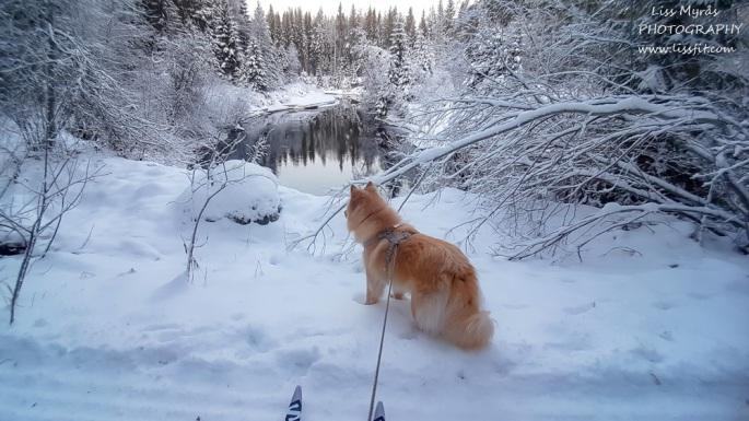 ski track crossu country river winter wonderland lapphund