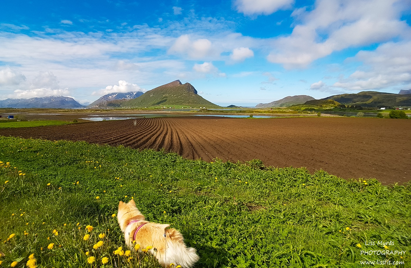 Lofoten landscape farmers field lapphund mountains fjords beautiful norway