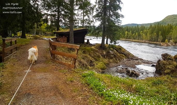 Namsskogan Sandamofossan gapahuk trail river roadtrip lapphund Namsen travel Norway