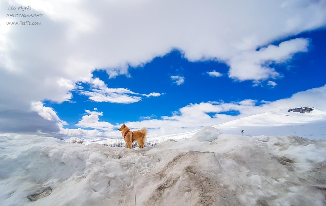 Polarsirkelen Saltfjellet lapphund polar circle arctic circle Nordland Nordnorge