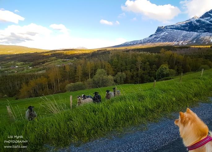 Skakadalen Vang Valdres sheeps roadtrip hike lapphund Norway