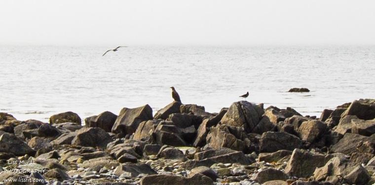 havørn birds fugler beach Lofoten seaside shore hike