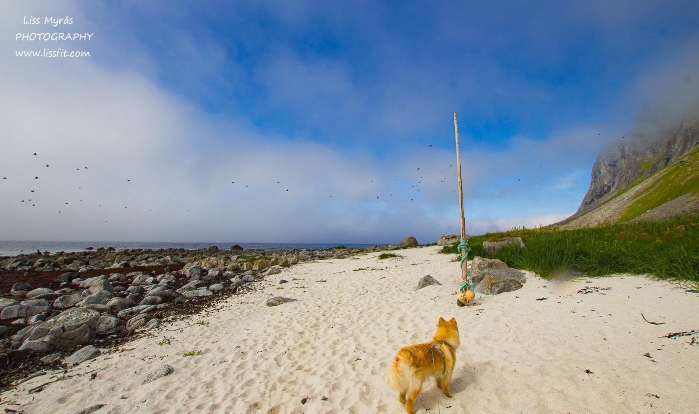 Hornneset beach fnsk lapphund Vikten sandstrand Lofoten