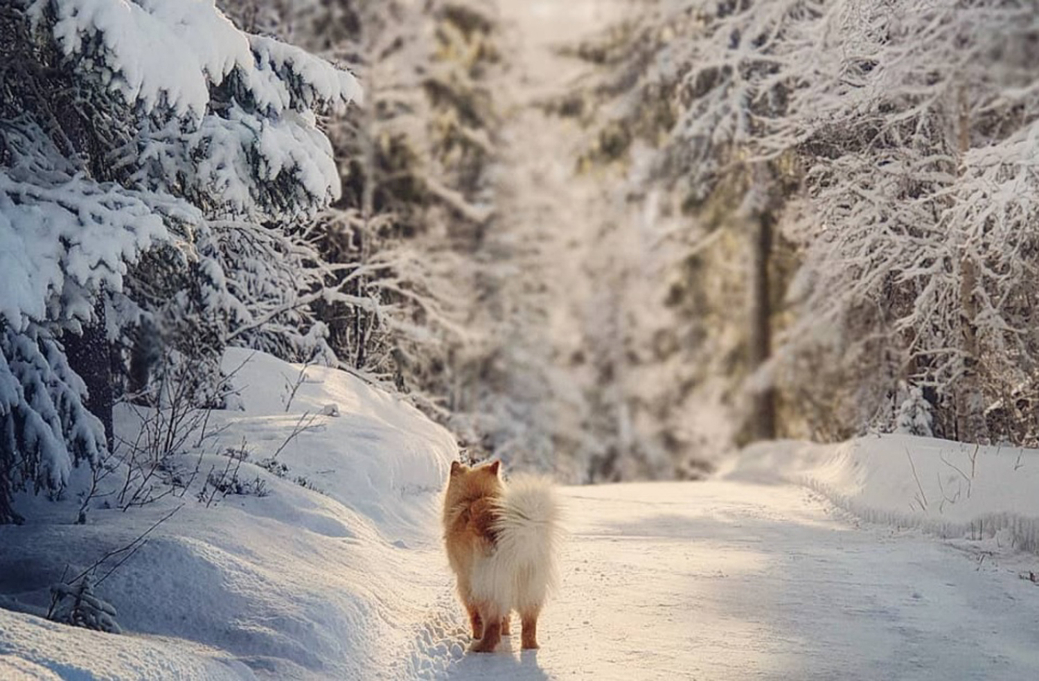 finsk lapphund winter landscape dog telemark Norway photography