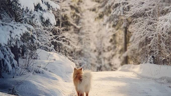 finsk lapphund winter landscape dog telemark Norway photography